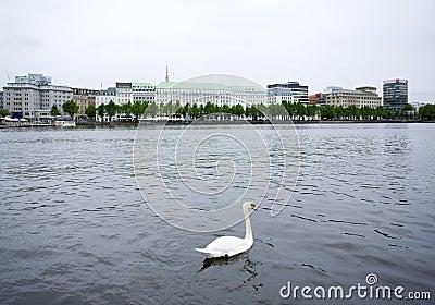 White swan on Alster lake, Hamburg