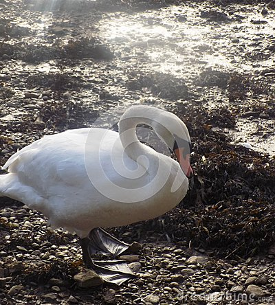 Free White Swan At Berwick Upon Tweed, Northumberland UK Royalty Free Stock Images - 88063759