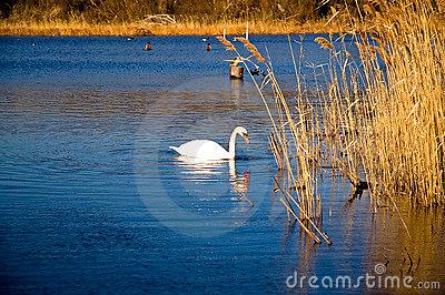 White Swan on a Blue Pond