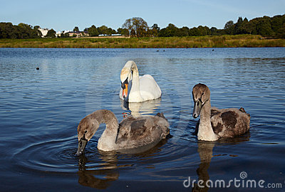 White swan with chicks