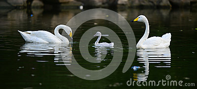 White swan and children