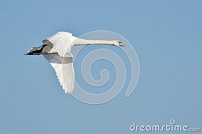 White Swan in Flight