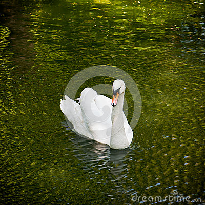 Free White Swan In A Pond Stock Photos - 32803553