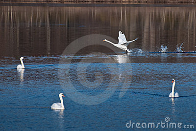 White Swan Landing Among Friends