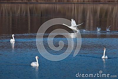 White Swan Landing Among Friends