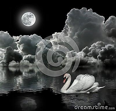 White swan at night