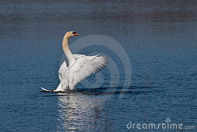 White Swan with Outstretched Wings