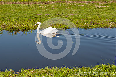 White swan paddling in a small stream