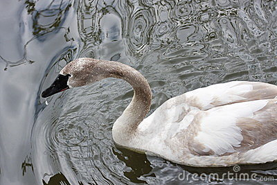 A white swan is in the pond of the Moscow zoo