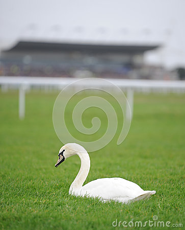 White swan on racecourse