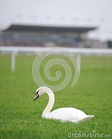 White swan on racecourse
