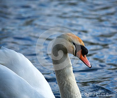White swan side on