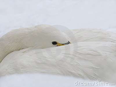 White Swan on the Snow