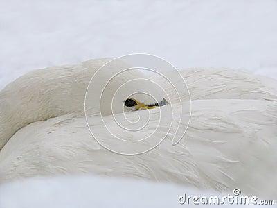 White Swan on the Snow