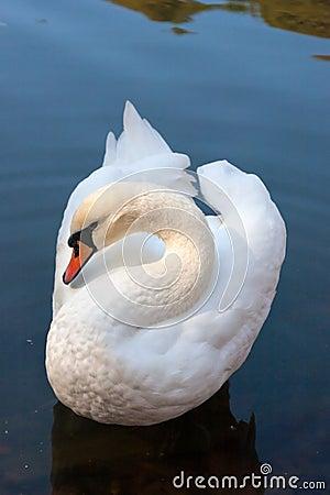 Free White Swan Swimming On The Lake Stock Image - 61220461