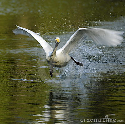 White Swan take-off