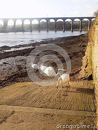 Free White Swans At Berwick Upon Tweed, Northumberland UK Royalty Free Stock Photography - 88063927
