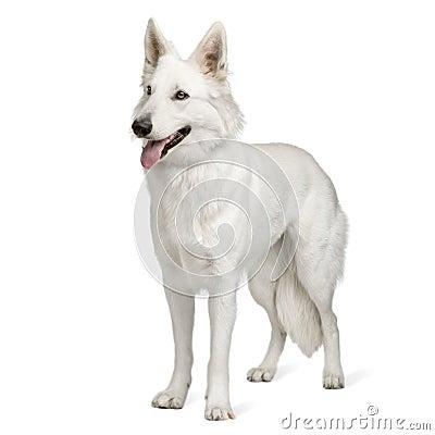 Free White Swiss Shepherd Dog (10 Months) Stock Photography - 6851702