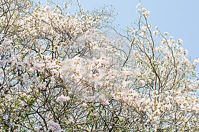 The white Tabebuia
