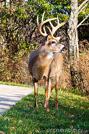 Free White Tail Buck Stock Photography - 13555532