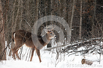White tail buck in winter