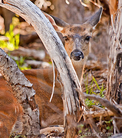 White Tail Deer Hiding in Brush