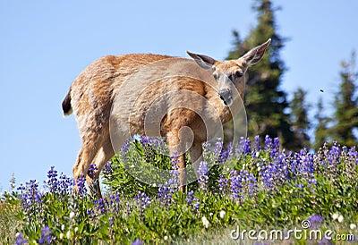 White Tail Deer Purple Lupine Hurricane Ridge