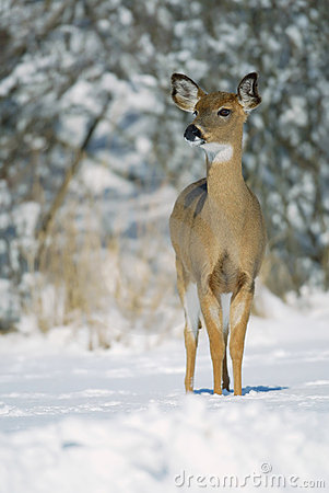 White tail doe in snow