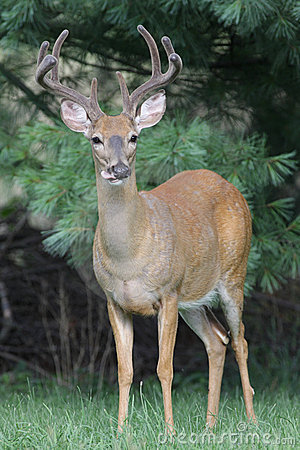Free White-tailed Deer Buck Royalty Free Stock Photos - 5861398