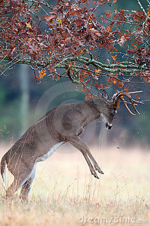 Free White-tailed Deer Buck Rut Behavior Royalty Free Stock Photo - 18467795
