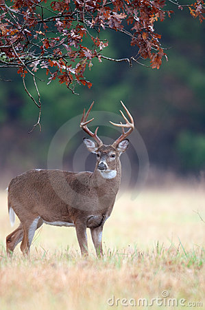 Free White-tailed Deer Buck Rut Behavior Royalty Free Stock Photography - 18467797