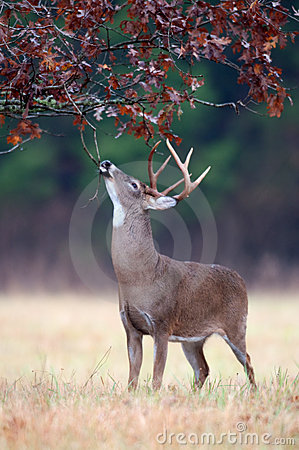 Free White-tailed Deer Buck Rut Behavior Stock Images - 18467824