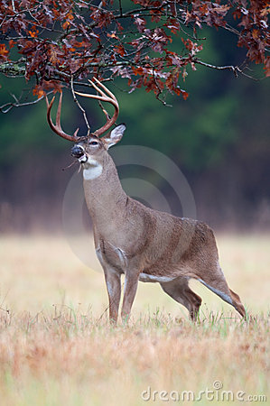 Free White-tailed Deer Buck Rut Behavior Royalty Free Stock Image - 18467826