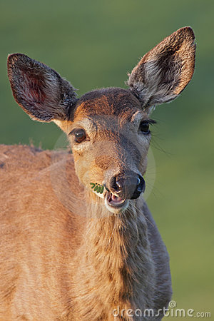 Free White-tailed Deer Chewing Stock Photo - 22982950