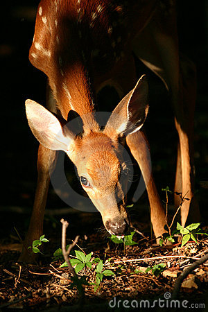 Free White Tailed Deer Fawn Stock Photo - 1278940