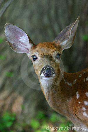 Free White Tailed Deer Fawn Royalty Free Stock Images - 1278989