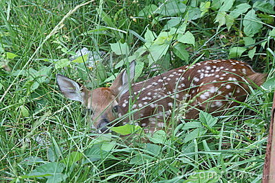 White-tailed Deer Fawn In Brush Royalty Free Stock Image - Image: 5238656