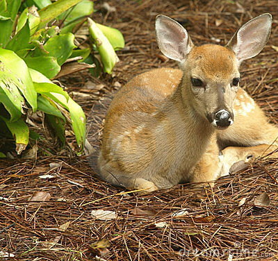 White tailed deer fawn lying down looking straight