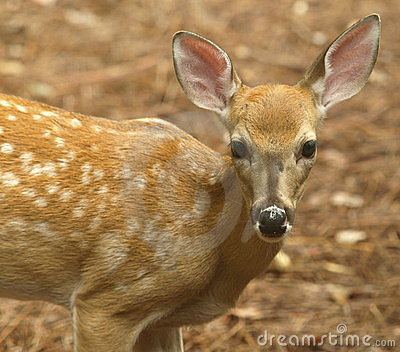 White tailed deer fawn standing close
