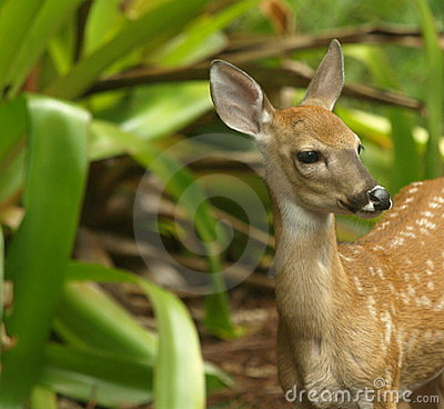 White tailed deer fawn standing up looking right