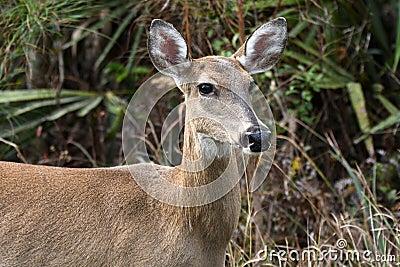White-tailed Deer foraging in the Okefenokee National Wildlife Refuge, Georgia