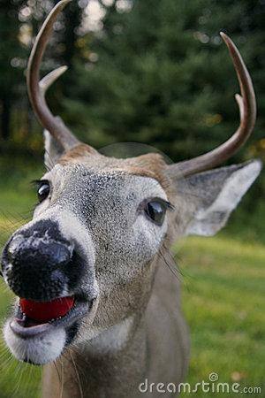 Free White Tailed Deer Head Stock Images - 578994