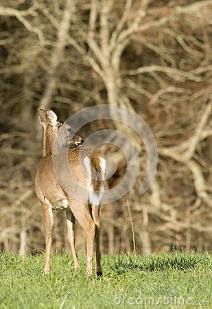 Free White Tailed Deer In Field Stock Photo - 30544010