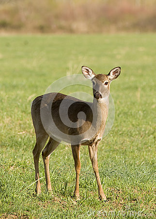 Free White Tailed Deer In Field Royalty Free Stock Image - 30544026