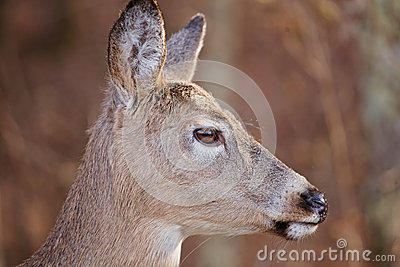 White Tailed Deer Profile