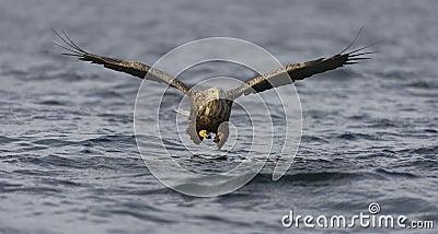 White-tailed Eagle fishing
