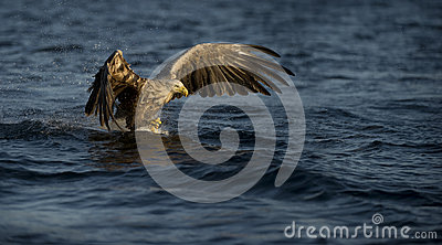 White-tailed Eagle fishing