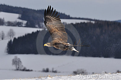 White-tailed Eagle flying above the ground