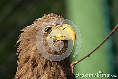 White-tailed Eagle, haliaeetus albicilla