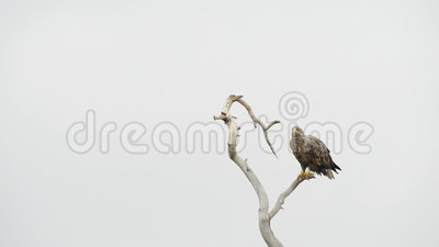 White-tailed eagle (Haliaeetus albicilla). On tree